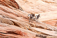 In the red rocks of Zion National Park this Desert Bighorn Ram follows his prize a ewes after confronting another ram and chasing him away.