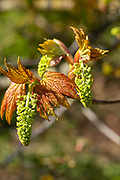 Macro close up Sycamore tree flowers and leaves in springtime, Acer pseudoplatanus, UK