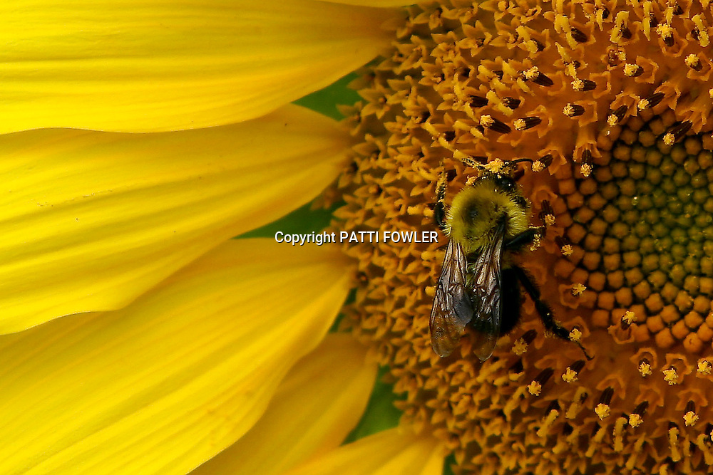 Bee with pollen on sunflower head