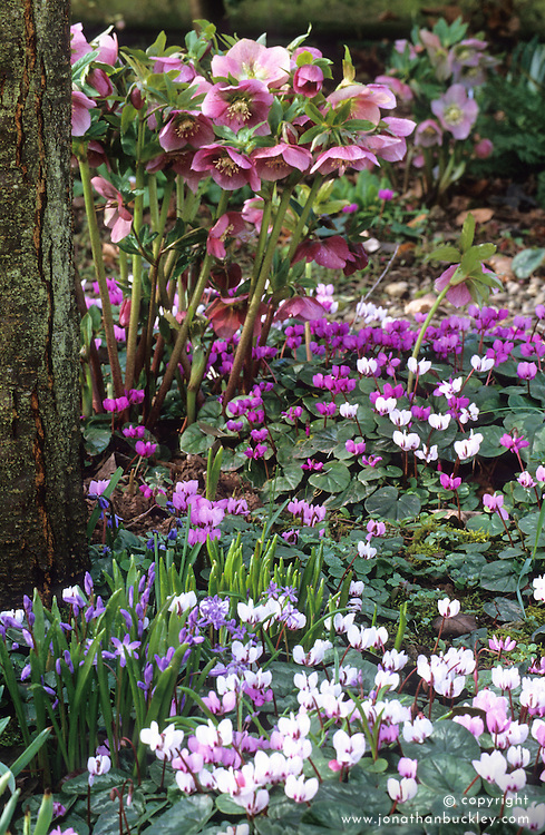 Woodland area in spring with Cyclamen coum, chionodoxa and Helleborus x hybridus 'Ashwood Garden Hybrids'