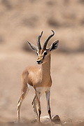 The dorcas gazelle (Gazella dorcas), also known as the ariel gazelle, is a small and common gazelle. The dorcas gazelle stands about 55–65 cm at the shoulder, with a head and body length of 90–110 cm and a weight of 15–20 kg. Photographed in the Negev Desert, Israel in August