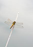 Black-tailed Skimmer - Orthetrum cancellatum - female.