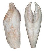 Common Piddock - Pholas dactyla