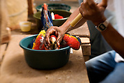 Feeding scarlet macaws in the lab in the Maya Biosphere Reserve in Guatemala.