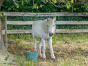full body of a white foal on a farm