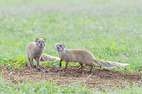 Yellow Mongoose pair at their den entrance, Addo Elephant National Park, Eastern Cape, South Africa