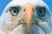 Alaska. Bald Eagle head (Haliaeetus leucocephalus), Close up of beak and eyes. Raptor searching for food.