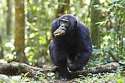 Chimpanzee<br /> Pan troglodytes<br /> Carrying wasp nest<br /> Tropical forest, Western Uganda