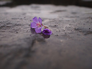 Wild geranium blossom on the black rock at Golfoss Waterfall, Iceland.