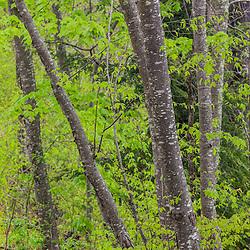 "Sweet Birch, Betula lenta, a.k.a ""Black Birch"", in a Durham, New Hampshire forest."