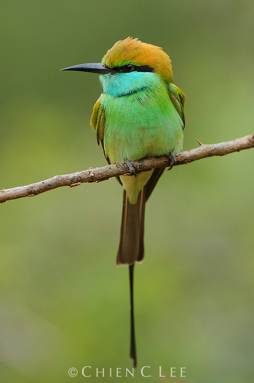 Green Bee-eater (Merops orientalis ceylonicus). Southern Province, Sri Lanka.