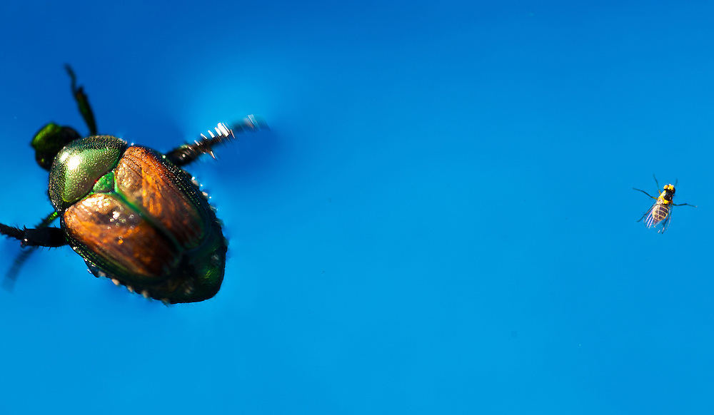 Japanese Beetle and fly floating in swimming pool.