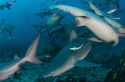 Bull Shark (Carcharhinus leucas)<br />
