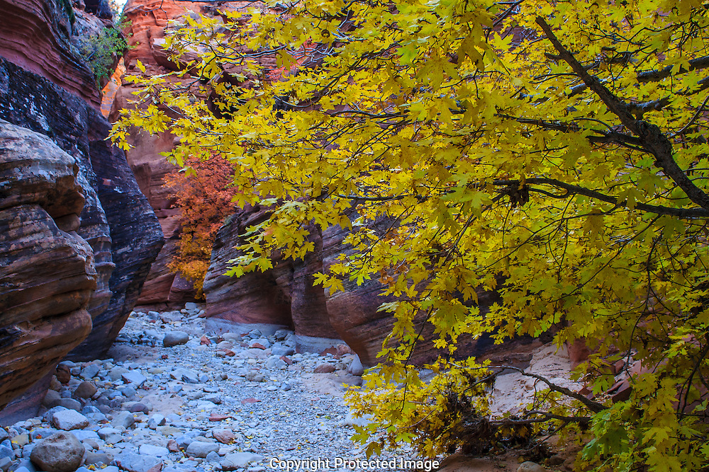 As winter nears the fall colors emerge within the canyons of Zion National Park