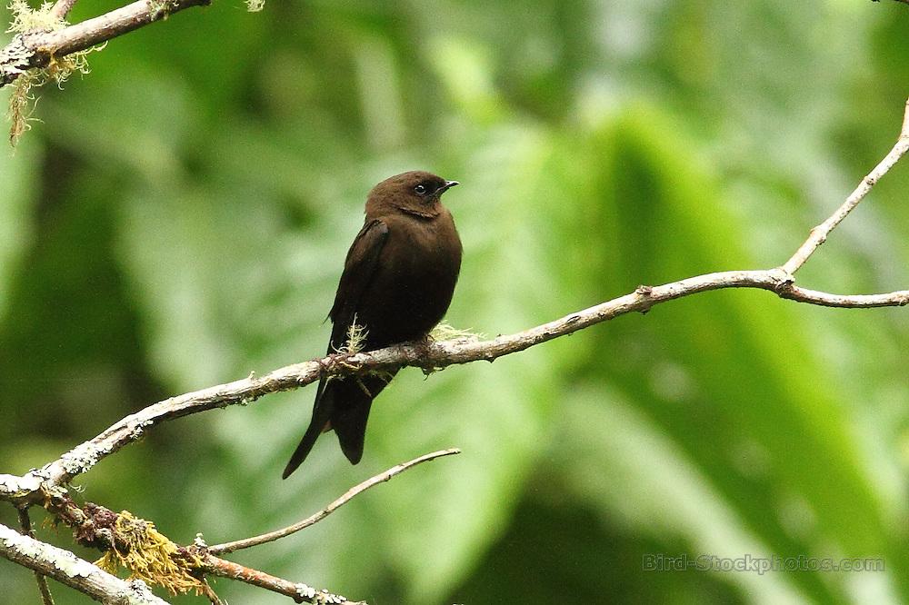Mountain Saw-wing, Psalidoprocne fuliginosa, Cameroon, by Markus Lilje