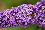 Buddleia Davidii flower in English country garden, UK