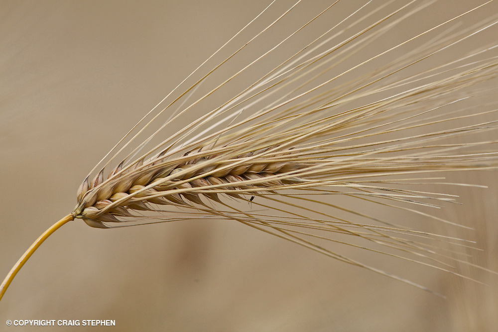 Isolated ear of barley in Perthshire, Scotland near to harvesting
