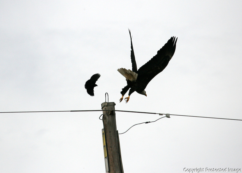 Blackbird attacks Bald Eagle as it takes off from a power pole on Jekyll Island