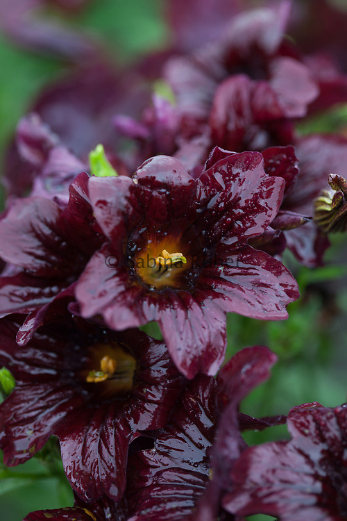 Salpiglossis sinuata 'Black Trumpets' - painted tongue