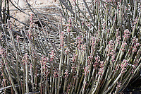 Candelilla at Big Bend National Park, Texas. (Euphorbia antisyphilitica). Harvested for its wax.