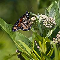 Monarch butterfly (Danaus plexippus) feeding on Common milkweed (Asclepias syriaca)