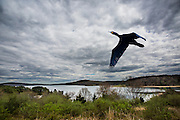 cormorant,flying,mountains.