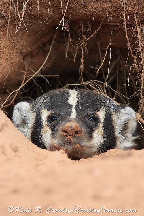 American Badger in Habitat