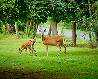 Doe and two fawns. Image taken with a Fuji X-H1 camera and 80 mm f/2.8 macro lens + 1.4x teleconverter.