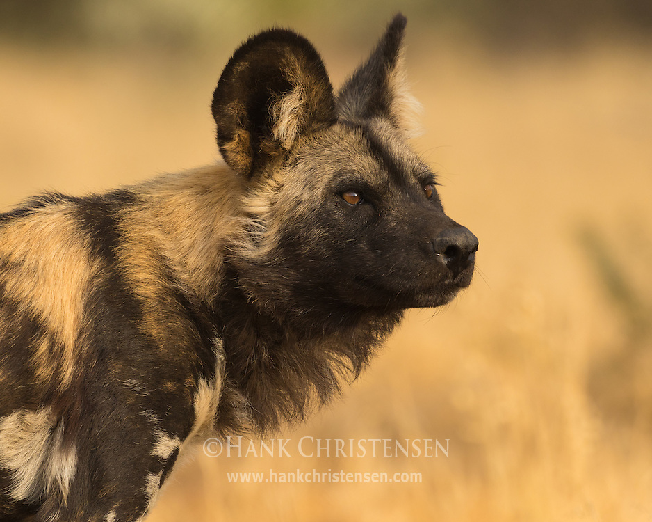 An endangered african wild dog stands at the edge of dense undergrowth, Naan Ku Se Wildlife Sanctuary, Namibia.