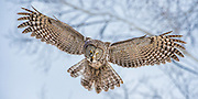 Great Gray Owl hovering over prey in late winter in Jackson Hole, WY.