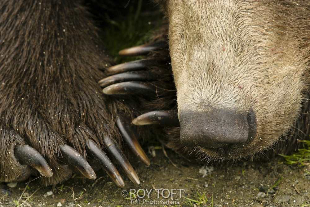 Close-up of Brown Bear claws and nose, Alaska.