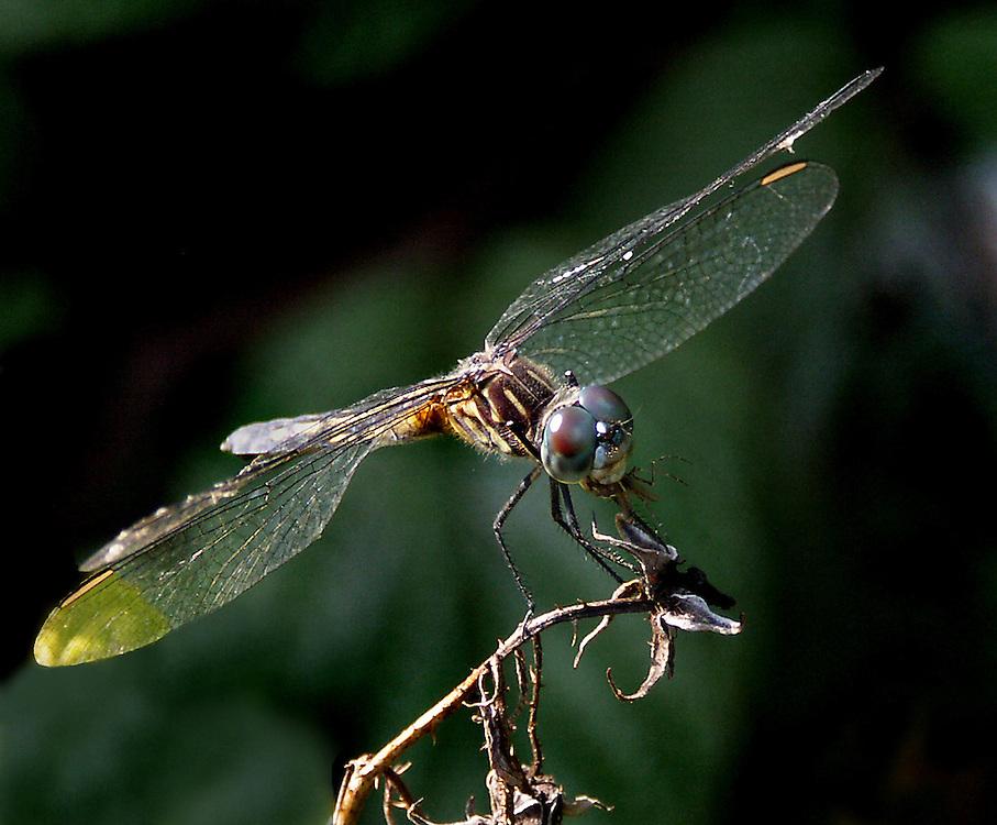 A dragon fly near the lily pond.
