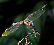 A dragon fly near the lily pond.