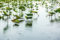 Lily pads stand above the water in a pond with it's raining.