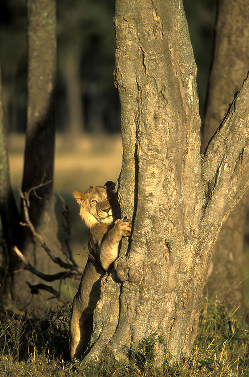 Africa, Kenya, Masai Mara Game Reserve, Subadult Male Lion (Panthera leo) climbs tree in Musiara Marsh at dawn
