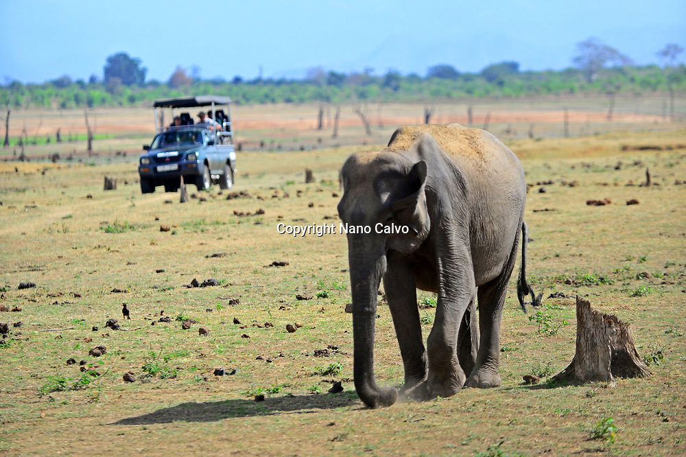 Sri Lankan elephant (Elephas maximus maximus) and safari jeep in Udawalawe National Park, on the boundary of Sabaragamuwa and Uva Provinces, in Sri Lanka.