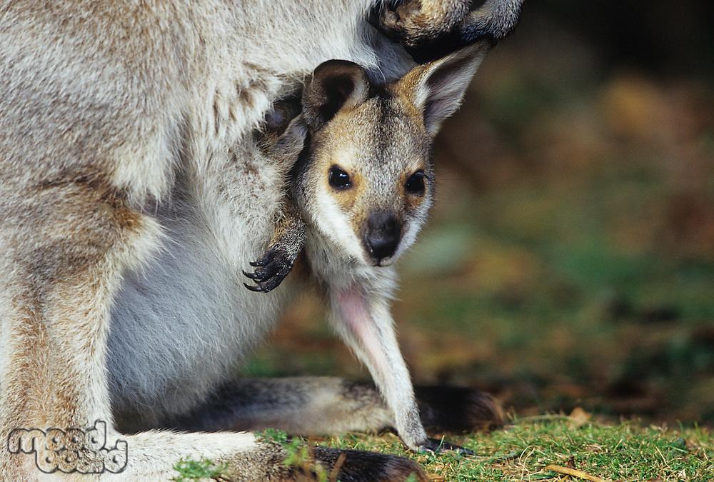 Joey Kangaroo with mother close-up