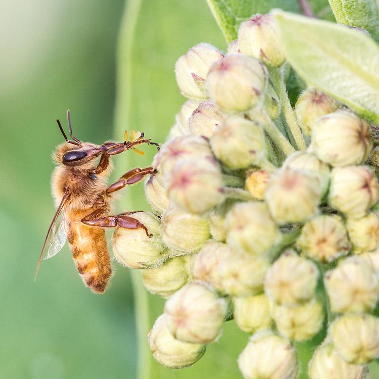 Honey Bee on Milkweed