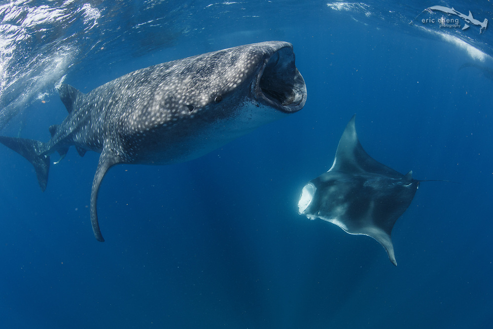 A whale shark (Rhincodon typus) and manta ray (manta birostris) off of Isla Mujeres, Mexico.
