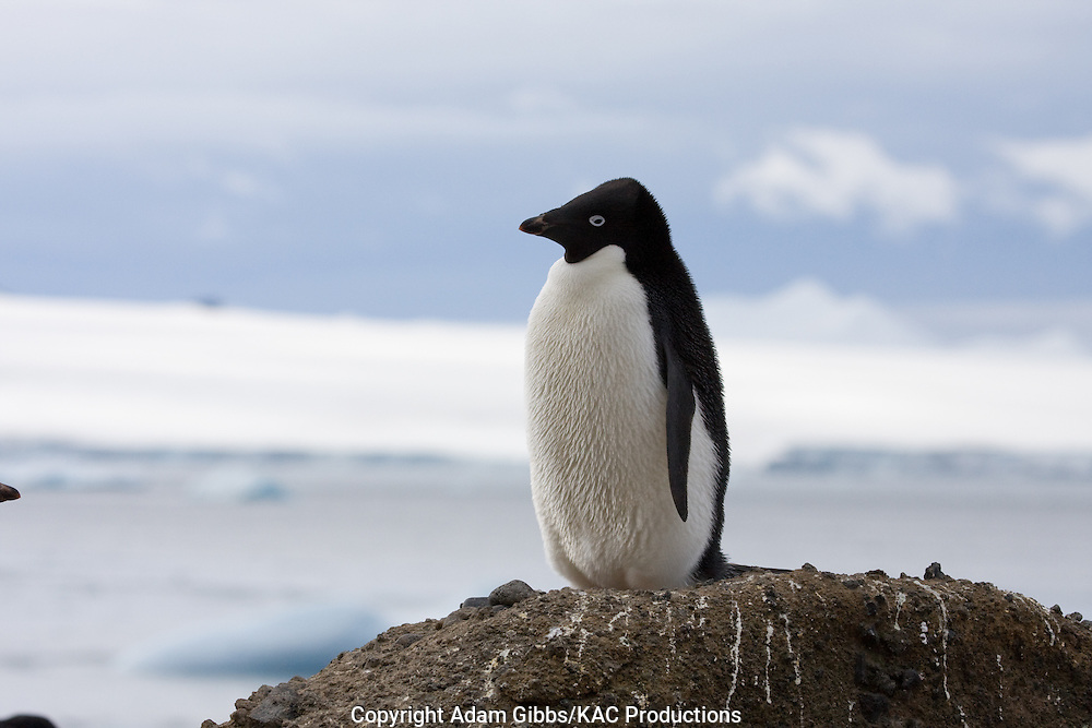 Adelie penguin, Antarctica, Pygoscelis adeliae, standing on the shoreline at Brown Bluff.