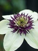 Clematis florida 'Sieboldii' - passion flower clematis