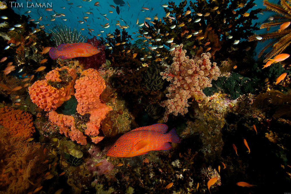 Reef view with Blue-spotted Groupers and other fish, soft and hard corals...Vicinity of Gam Island.