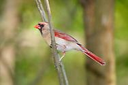 Bird, Northern Cardinal, Female, Cardinalis cardinalis