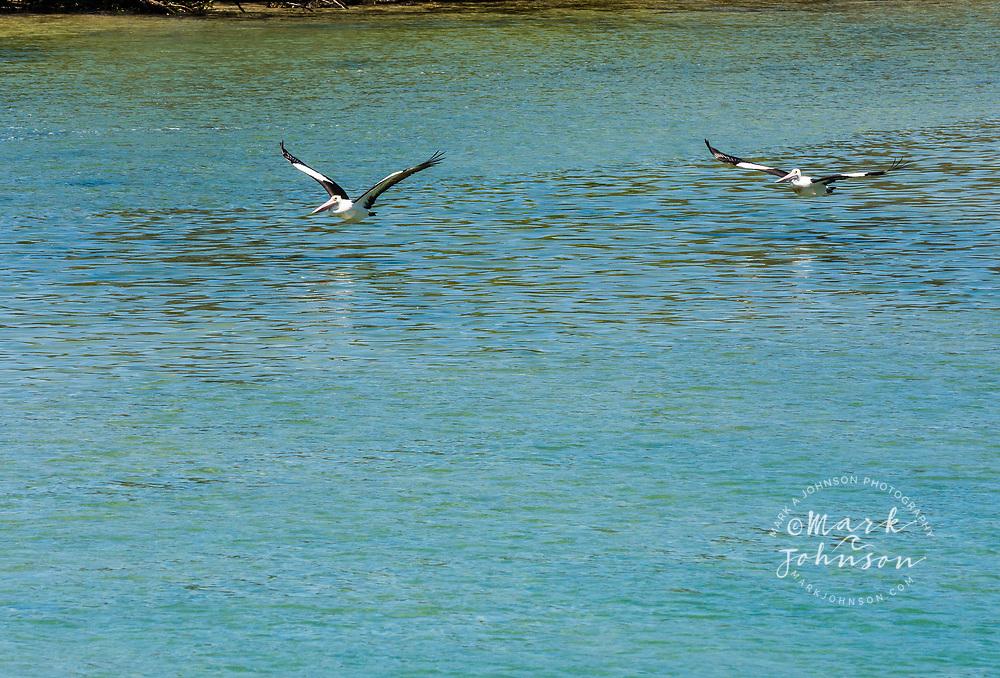 2 Australian Pelican(Pelecanus conspicillatus) flying over Cudgen Creek, Kingscliffe, NSW, Australia