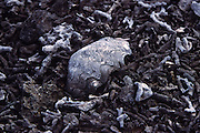 Broken shell and coral, Ducie Island, Pitcairn Group<br />
