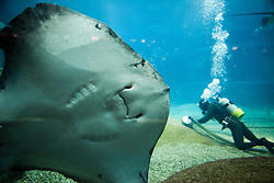 Underside of Large Stingray with Diver in Background
