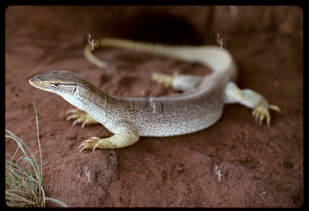 Goanna lizard, nearly one meter long, patrols red sands outside its burrow in the Tanami Desert. Australia