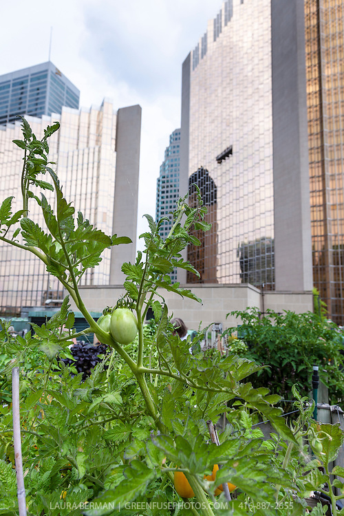 Heirloom tomatoes growing in the rooftop herb garden at the Royal York Hotel, Toronto, canada.
