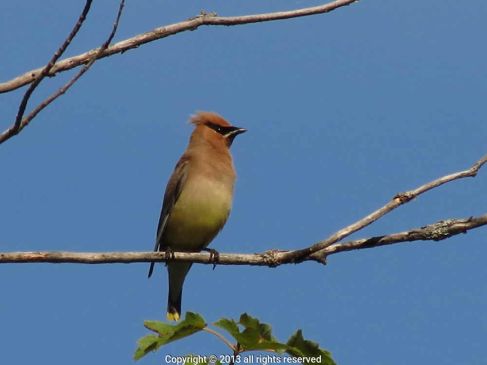 Cedar Waxwing, perched on a tree overhanding Peacham Pond, VT