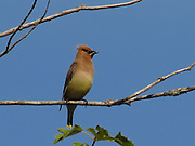 Cedar Waxwing, perched on a tree overhanding Peacham Pond, VT